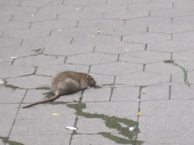 Rats have surged in DUMBO, Lower Manhattan and Brooklyn Heights after Hurricane Sandy.