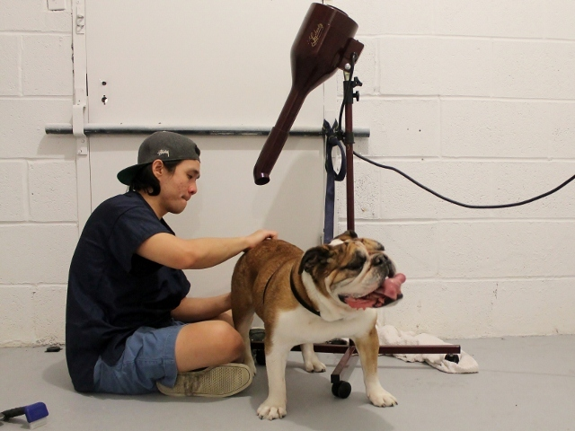 <p>The Salty Paw, a pet boutique and groom spa in the South Street Seaport that was closed from damage during Hurricane Sandy, started taking clients again at a temporary space in the Seaport Animal Hospital. Here, groomer Chris Khooaroon dries Hammie the bulldog after a bath on Tuesday.</p>