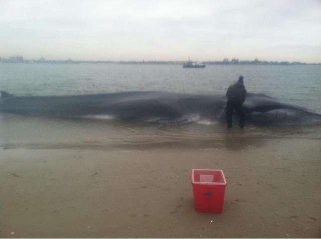 <p>A beached whale was discovered on the sand in Breezy Point Wednesday, Dec. 26, 2012.</p>