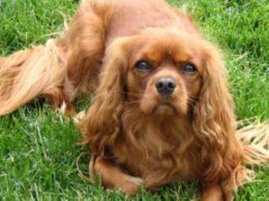 Marley, a 2-year-old Cavalier King Charles Spaniel was stolen the day before Christmas while its 7-year-old owner and her family were finishing their holiday shopping on Broadway in Washington Heights.