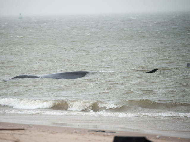 <p>The endangered finback whale was seen beached on the bay side in Breezy Point on Thursday December 27, 2012</p>