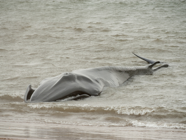 <p>The endangered Fin Whale was found beached again on the Bay side in Breezy Point on Thursday December 27th, 2012, approximately a half mile west of its position the day before.</p>