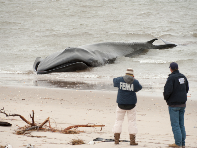 <p>A representative from FEMA takes photos of the dead finback whale on Thursday, December 27, 2012.</p>