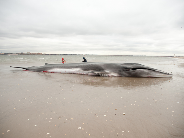 <p>The endangered finback whale was seen beached on the bay side in Breezy Point on Thursday December 27, 2012.</p>