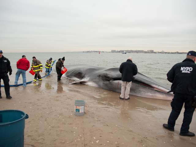 <p>The whale was found beached on the bay side in Breezy Point near Beach 216th Street on Wednesday, December 26, 2012.</p>