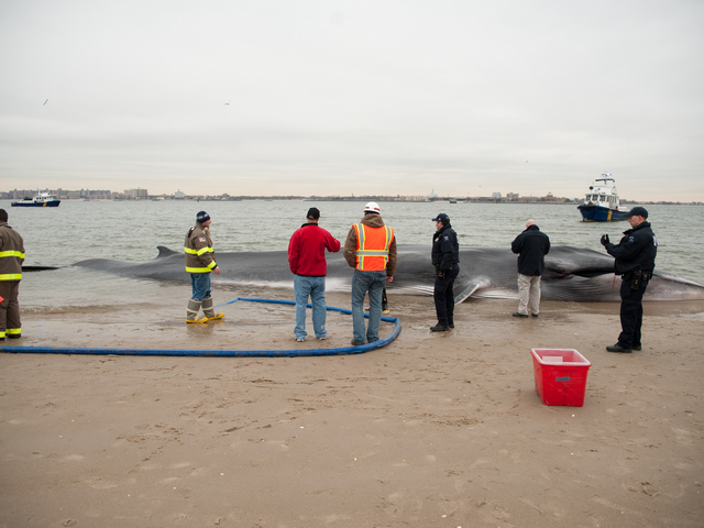 <p>The endangered finback whale was seen beached on the bay side in Breezy Point on Wednesday, December 26, 2012.</p>