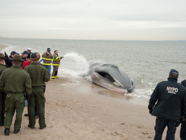 <p>The endangered finback whale was seen beached on the bay side in Breezy Point on Wednesday, December 26, 2012</p>