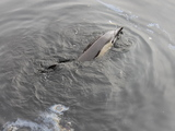 Gowanus Toxins Probably Didn't Kill Dolphin, Officials Say