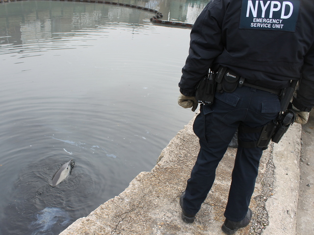 <p>The NYPD&#39;s Emergency Services unit responded after a dolphin was spotted in the Gowanus Canal on Jan. 25, 2013.</p>