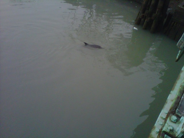 <p>A wounded dolphin was spotted in the Gowanus Canal on Friday Jan. 25, 2013.</p>