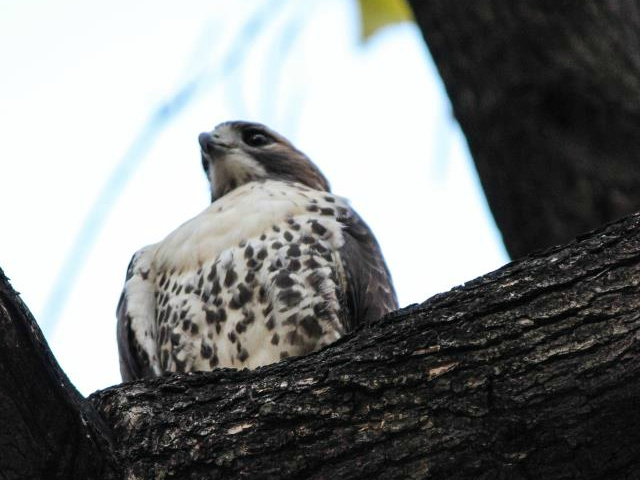 <p>A visitor posted a photo of a hawk in Madison Square Park to the Madison Square Park Conservancy Facebook page. It wasn&#39;t immediately clear whether the hawk found dead on Jan. 1, 2013, was the same hawk that has been frequenting the park for some time.</p>