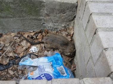 Giant, mannerless rats are terrorizing families on Bergen Street in Crown Heights, neighbors said.
