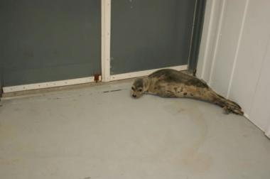 This seal was found beached in the Rockaways on Feb. 18, 2013. It was the first of two seals found in as many days.