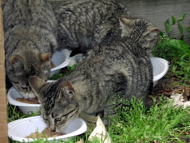 <p>Feeding time at a cat colony overseen by Neighborhood Cats.</p>