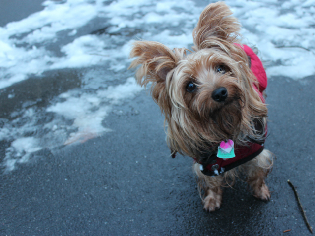 <p>Caterina, a rescued Yorkie, enjoys a walk through Central Park on Friday, March 8, 2013.</p>