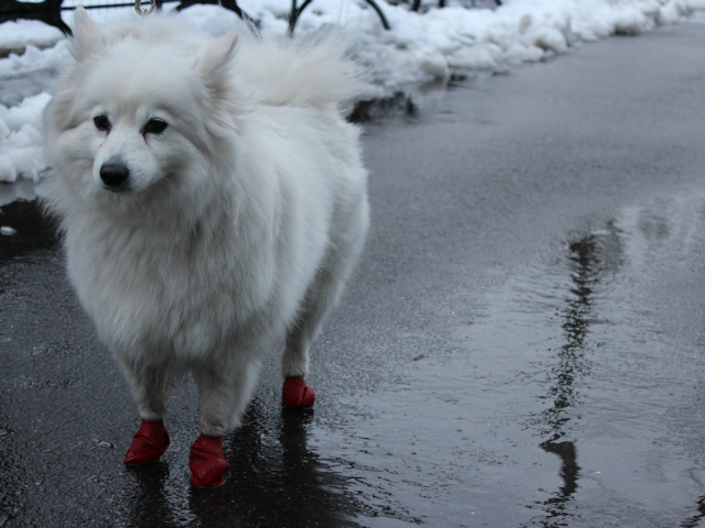 <p>An American Eskimo wears footie-style boots to battle the wet paths of snowy Central Park on Friday, March 8 2013.</p>