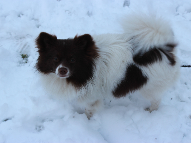 <p>Juno, a Pomeranian puppy, was playing in the snow in Central Park on Friday, March 8, 2013.</p>