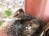 Washington Square Park Hawks Nesting Under Watch of New NYU Hawk Cam