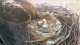 Baby Hawk's Birth Captured by Camera at NYU