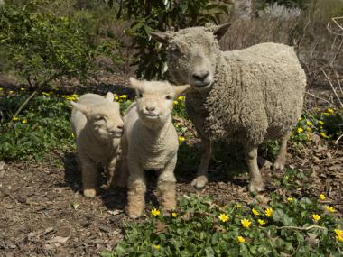 Two new babydoll southdown sheep joined the Prospect Park Zoo family recently.