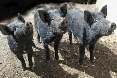Three little pigs were born at the Wildlife Conservation Society's Queens Zoo.