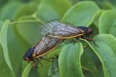 The elusive cicadas emerge on a 17-year cycle.