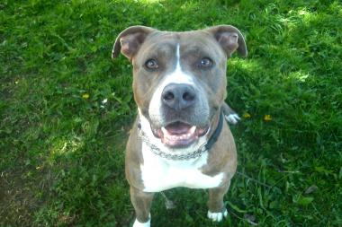 Mayor's Alliance for NYC Animals is looking for an adoptive home for the pooch, a 3-year-old pit bull.