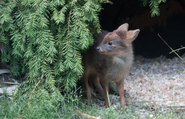 The baby deer is on display at the zoo.