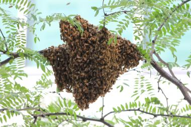 "Anthony ""Tony Bees"" Planakis recovered a swarm hanging from a branch at 12 E. 49th St. — at the back entrance of Saks Fifth Avenue's corporate headquarters."