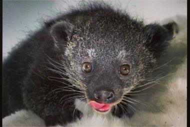 The popcorn smelling, several week old binturong is on display at the Staten Island Zoo's nursery.