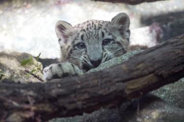 The unnamed cub was born in April to Leo, a snow leopard rescued from a remote region in Pakistan.