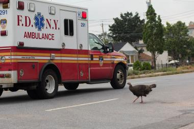 The USDA has not rounded up any turkeys in over a week, but still plan to remove all in Staten Island.