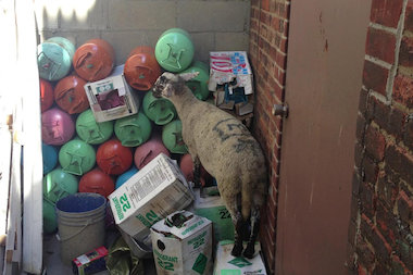 A sheep escaped from the Al-Noor Halal Meat Market in Sunset Park Tuesday Oct. 15, 2013