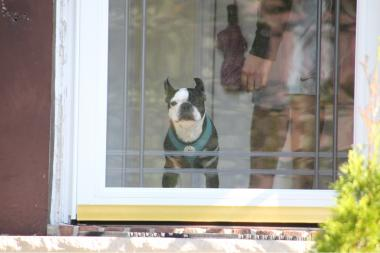 A city sanitation worker was bitten by a Boston terrier in Jamaica on Oct. 22, 2013.