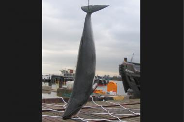 The skull of a whale who died in 2007 after wandering into the Gowanus Canal will be displayed at a TEDx conference in January 2014.