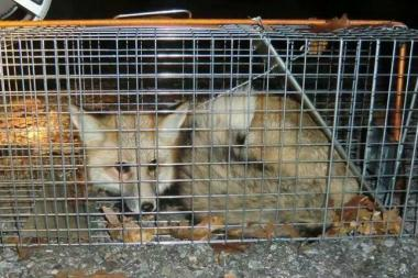 The runaway baby red fox, Helena, was trapped and returned to the Staten Island Zoo on Dec. 1, 2013.