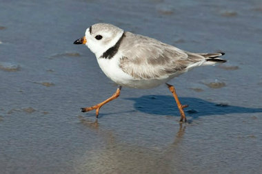 The endangered piping plover, for which officials delayed reconstruction of the Hurricane Sandy-battered Rockaway boardwalk, will delay sand replenishment there as well.