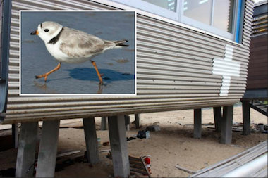 A construction moratorium during nesting season for the endangered piping plover may delay boardwalk reconstruction for months, but lifeguard shacks were installed on Far Rockaway beaches during nesting season last year.