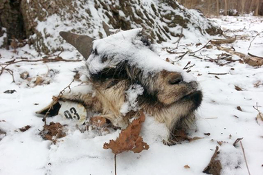 David Rabig discovered a decapitated goat head while he was walking his dog in Prospect Park Monday morning, March 4, 2014.