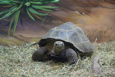 The Staten Island Zoo unveiled their new exhibit featuring three Galapagos tortoises, one of the longest-living animals on Tuesday.