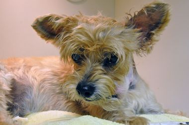 Jack, a 6-year-old Yorkshire terrier that was wounded during a shooting in Queens on Saturday, is in stable condition, according to the ASPCA.
