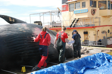 A 45-foot sei whale died of blunt force trauma, a necropsy found.