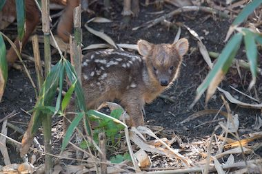 The female southern pudu was born April 29 weighing just one pound, according to the Wildlife Conservation Society.
