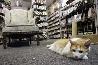 D.J. the cat lounges among shelves of DVDs at Alan's Alley Video.