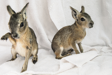 Two Patagonian cavy pups, Caela (left) and Cael, were born at the Staten Island Zoo on June 3, 2014.