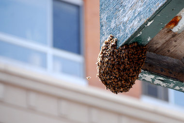 More than 6,000 bees were removed from scaffolding in Downtown Brooklyn Monday afternoon.