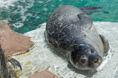A 22-pound harbor seal was born at the New York State Aquarium on May 27, 2014.