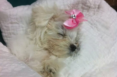 The owner of the 3-month-old Maltese Shih Tzu was arrested and charged with animal cruelty after police say she put the dog in a plastic bag and threw it out her car window near the Bay Terrace train station, prosecutors said.