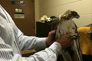 Hawk Rescued By Police from East Harlem Building Airshaft