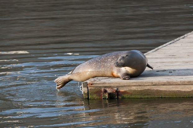 The seal swam in the waters off the park and hopped up onto a dock on Monday, witnesses said.